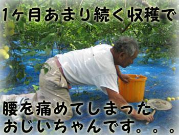 紀州南高梅を拾うおじいちゃん
