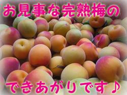紀州南高梅の完熟梅