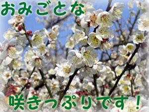 紀州南高梅の花が満開