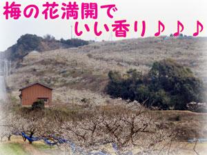 和歌山県紀州の梅の里も花いっぱい