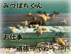 りっぱな紀州南高梅がなるように、蜜蜂くんのお手伝い
