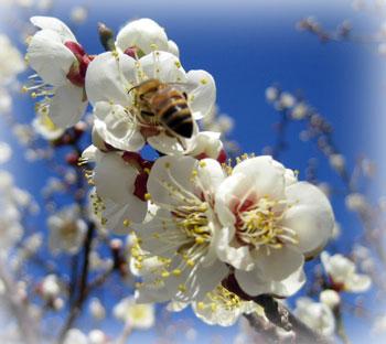 紀州南高梅の花粉を運ぶ蜜蜂くん