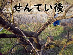 剪定後の梅ノ木