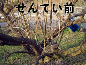 剪定前の梅の木