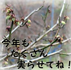 紀州南高梅がたくさん実る